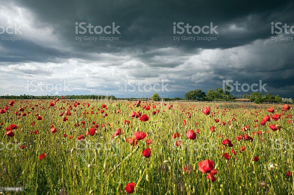 Sunny poppy meadow at storm horizontal royalty-free stock photo