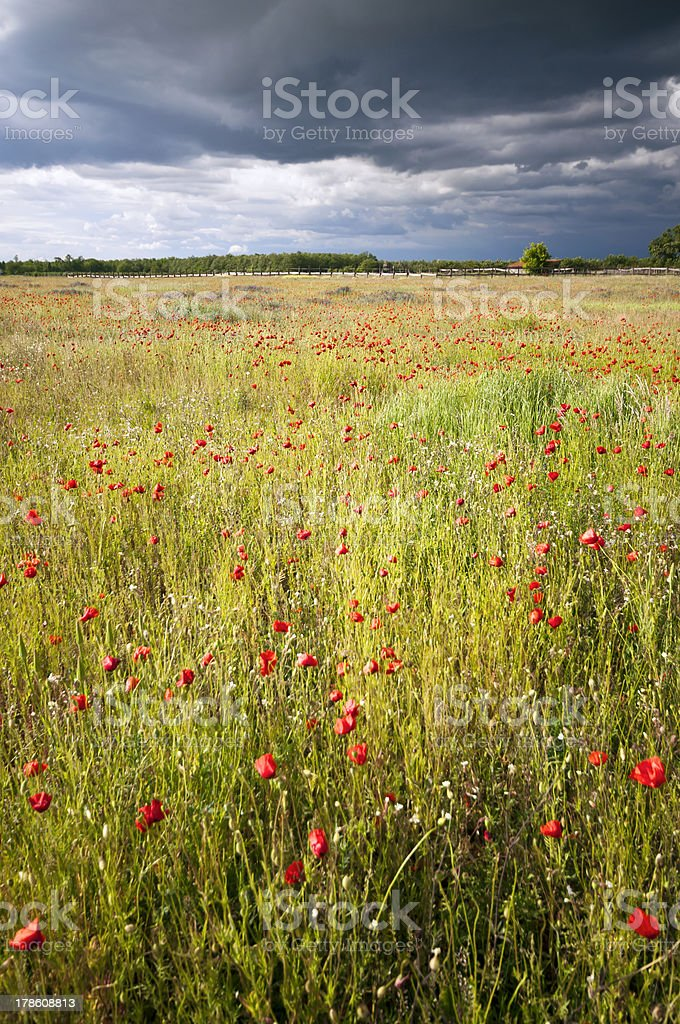 Sunny poppy meadow at storm vertical royalty-free stock photo