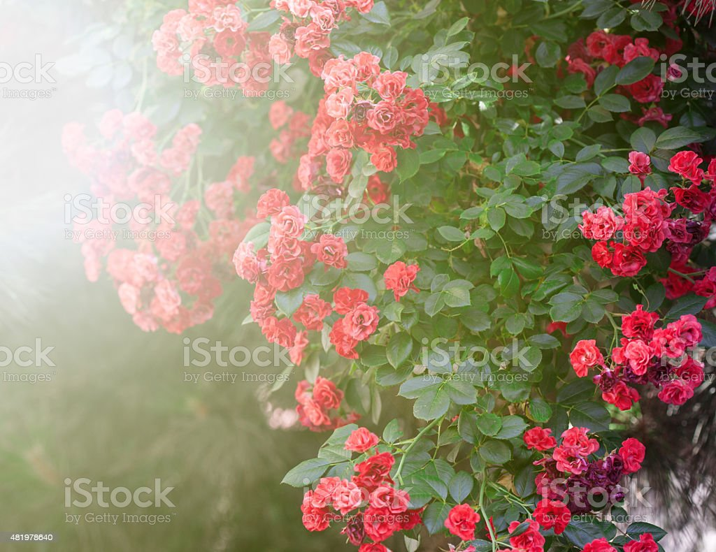Sunny red roses royalty-free stock photo