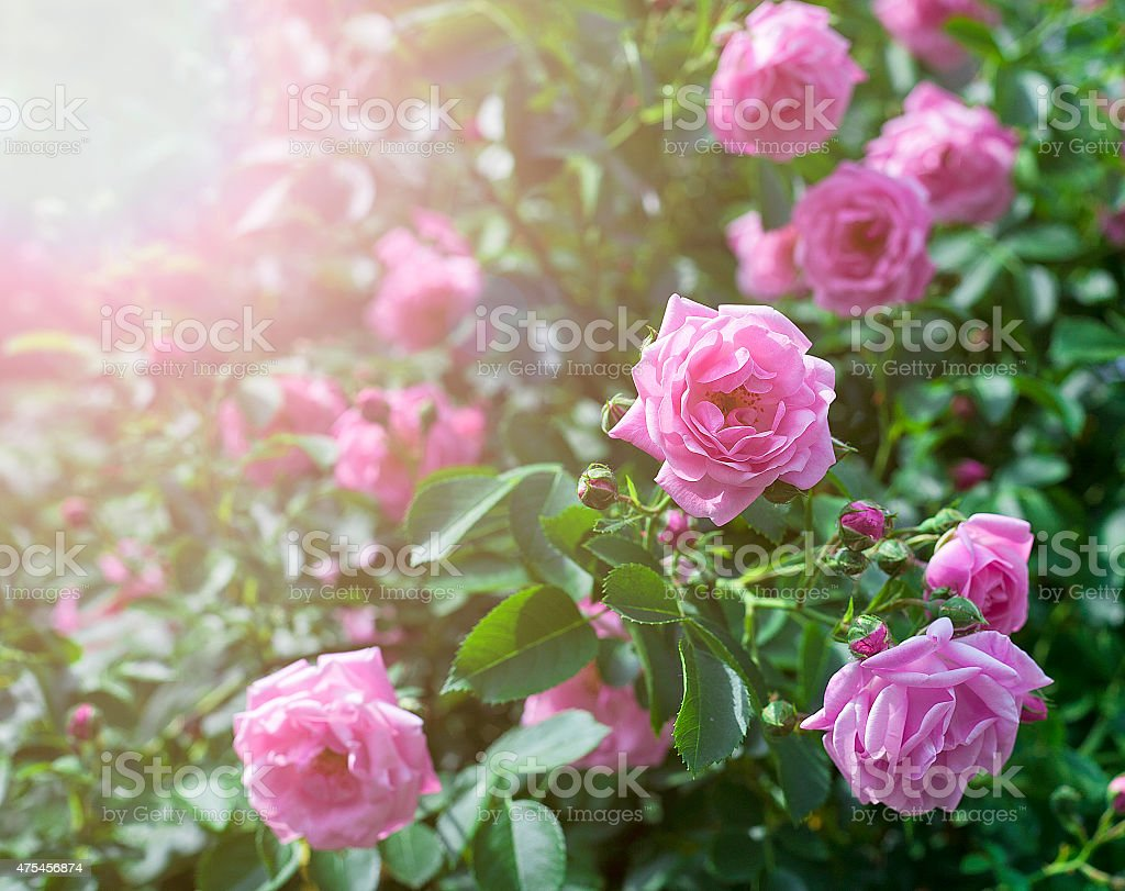 Sunny Roses royalty-free stock photo