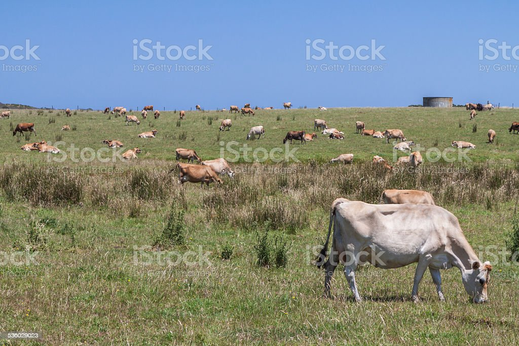 Sunny rural cow landscape with a typical water tank, Australia stock photo
