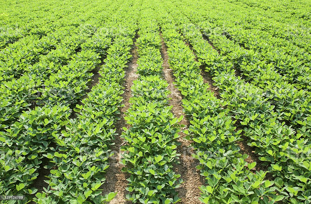 Sunny scenic background of rows of green peanut plants stock photo
