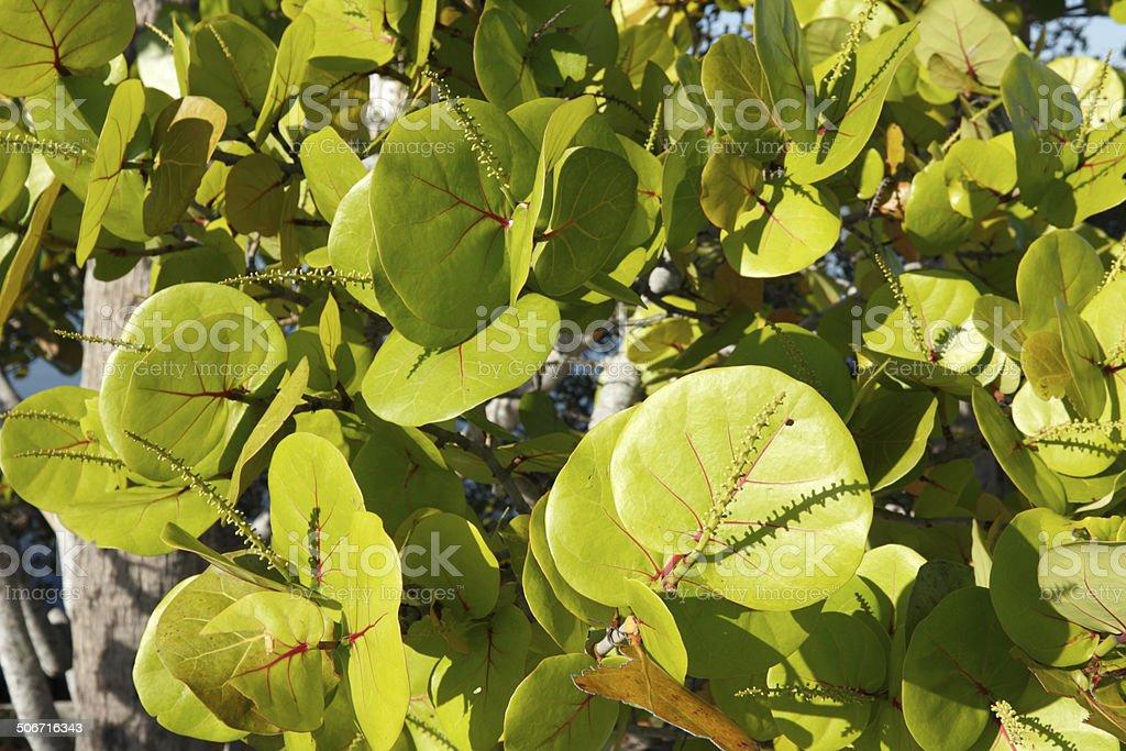 Sunny Sea Grape Leaves stock photo