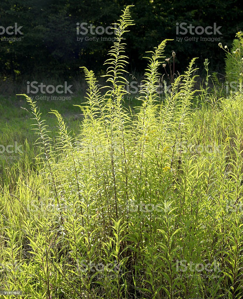 sunny shrub near forest edge stock photo