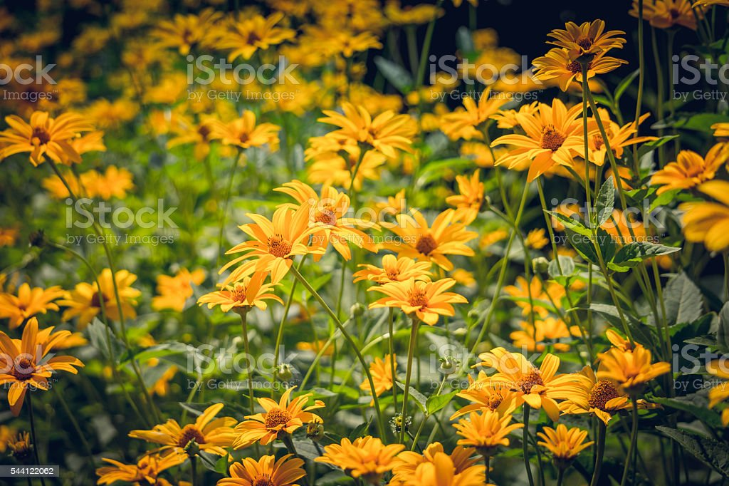 Sunny summer garden. Yellow flowers of the Asteraceae rudbeckia stock photo