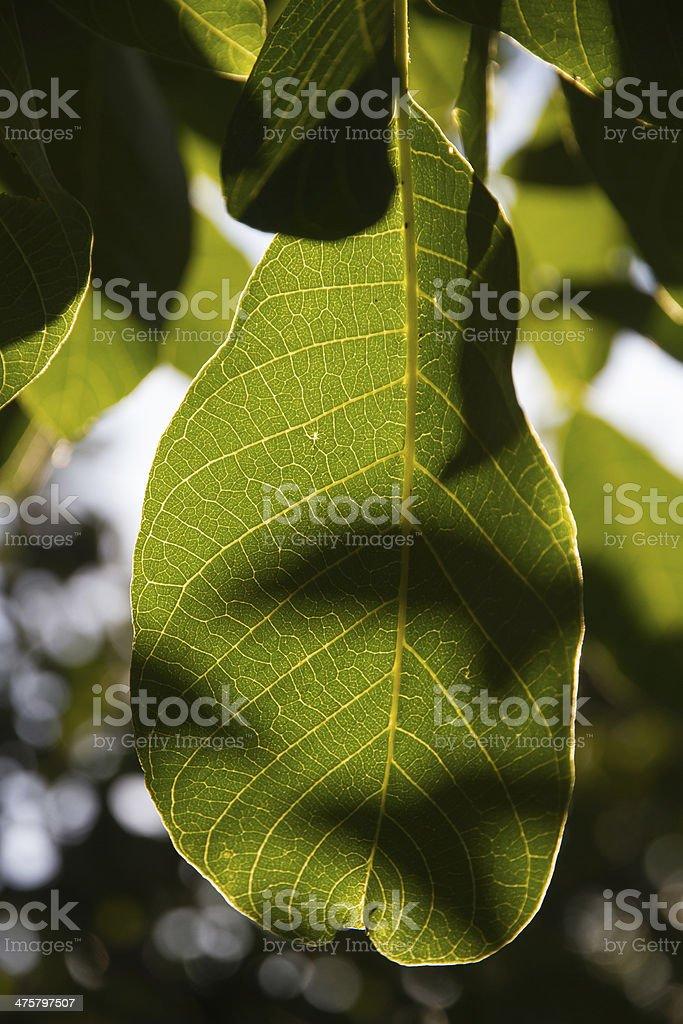 Sunny Tree Sheet - Hoja de Arbol Soleada royalty-free stock photo