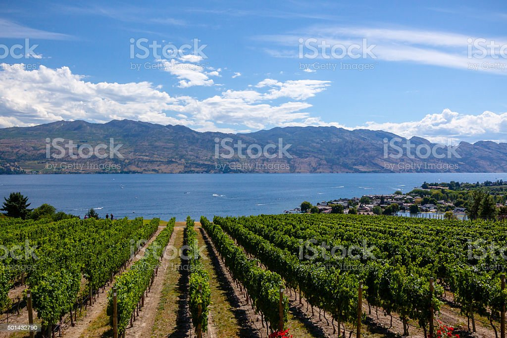 Sunny Vineyard Scene stock photo