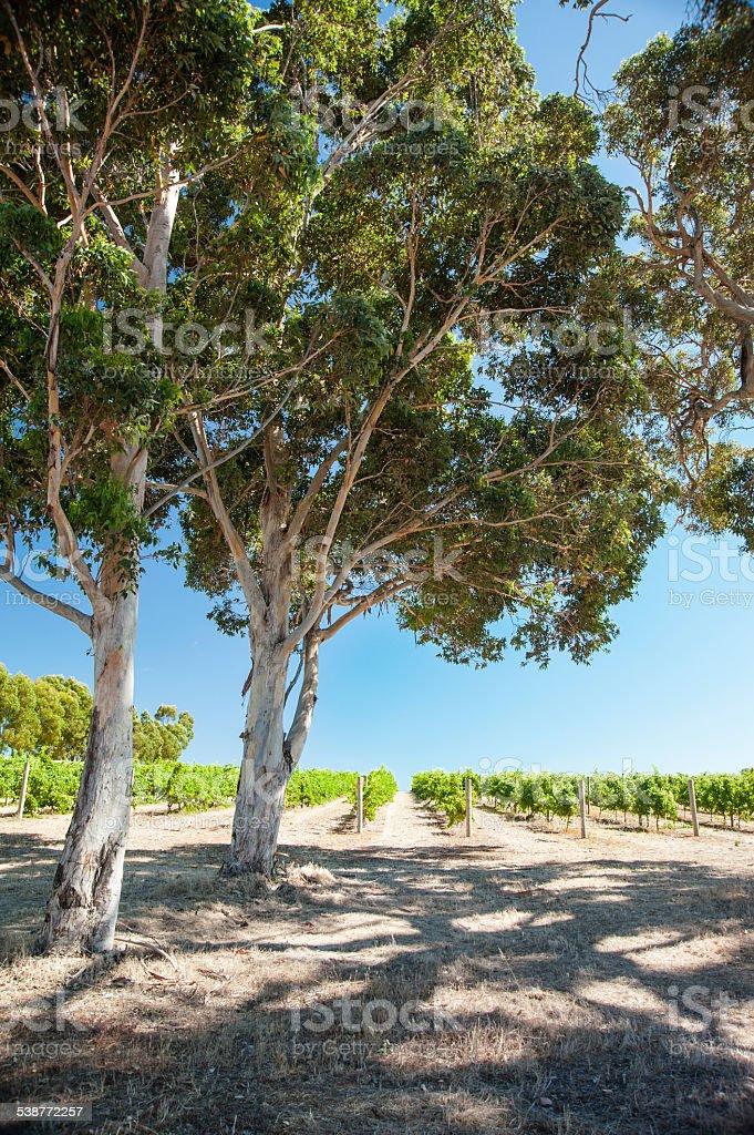 Sunny Vineyard, Shady Trees stock photo