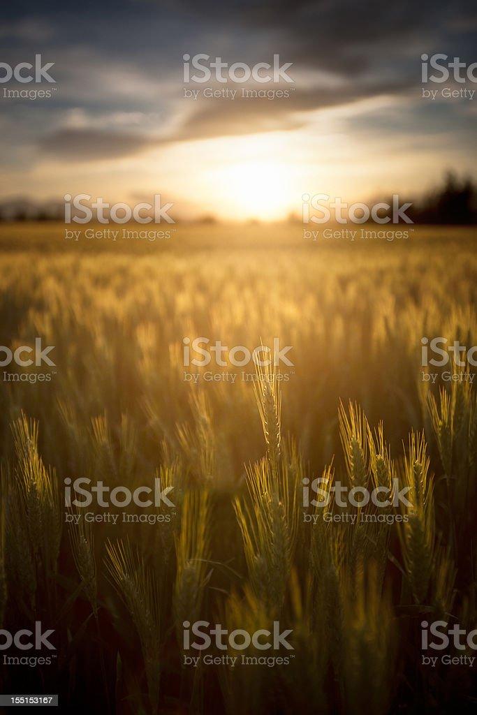 Sunny wheat field royalty-free stock photo