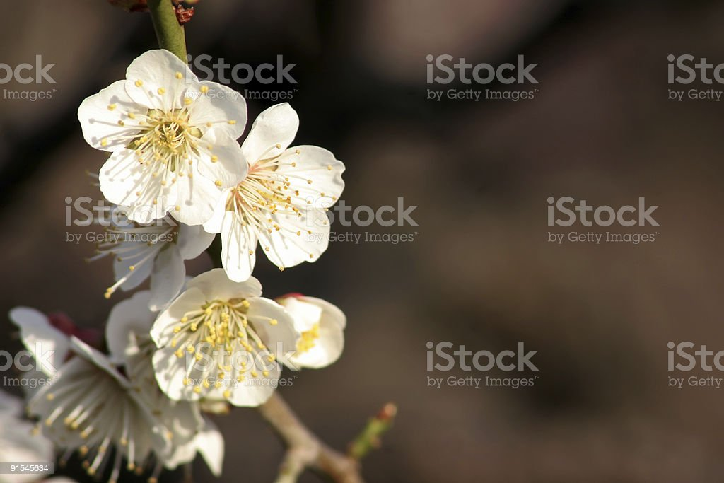 Sunny White Ume royalty-free stock photo