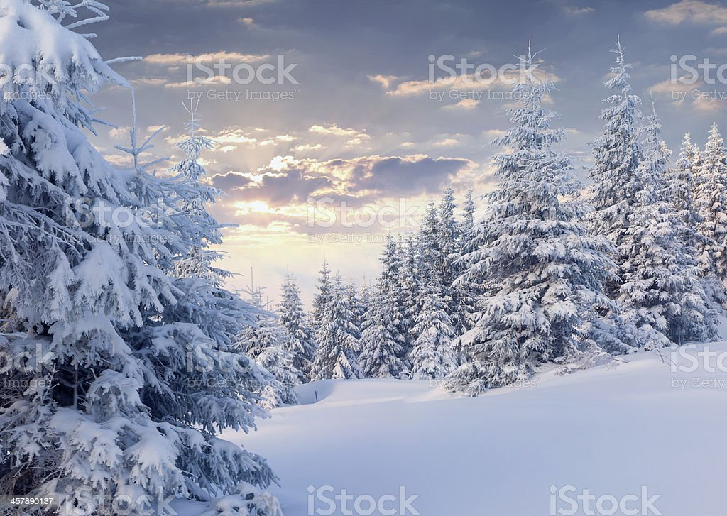 Sunny winter morning in the mountain forest. stock photo