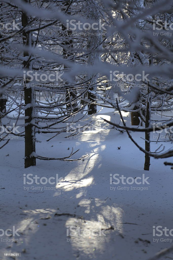 sunny winterday in dark forest royalty-free stock photo