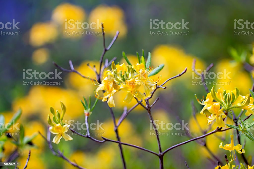 Sunny yellow rhododendrons blooming spring colorful background stock photo