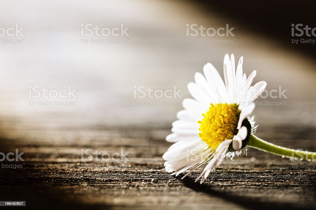 Sunray on Flower - Daisy Nature Poem Postcard stock photo