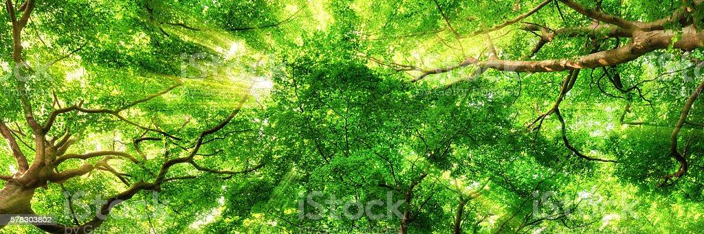 Sunrays shining through high treetops stock photo