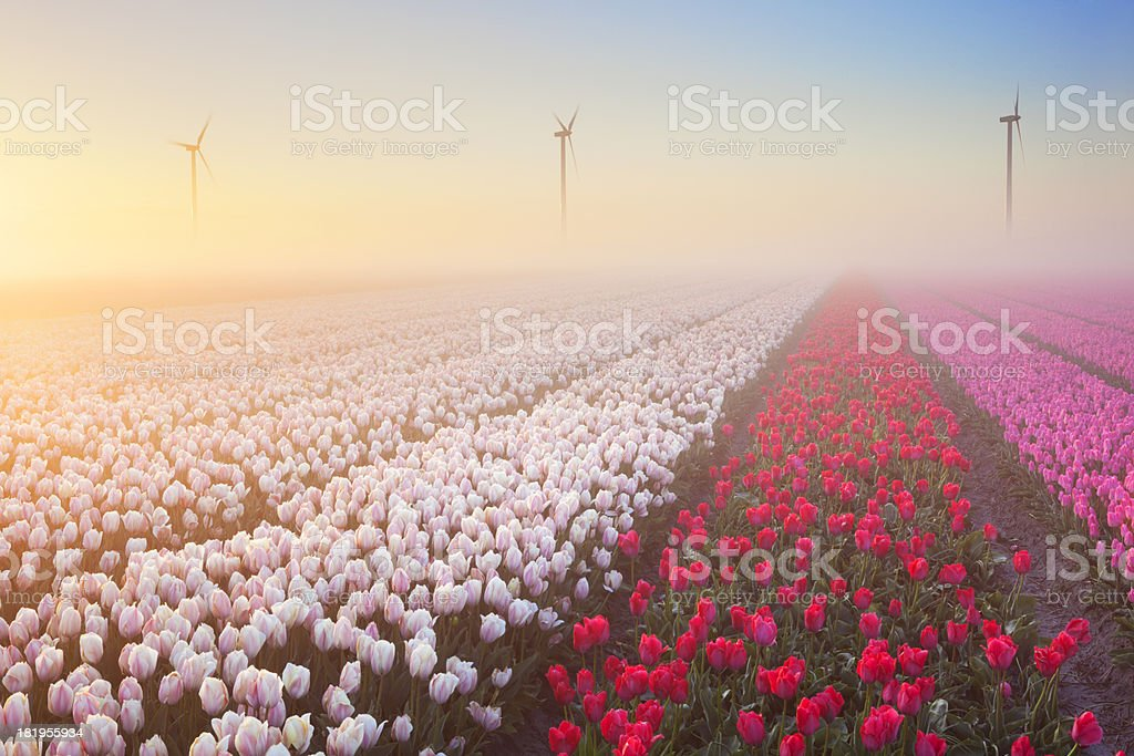 Sunrise and fog over rows of blooming tulips, The Netherlands stock photo