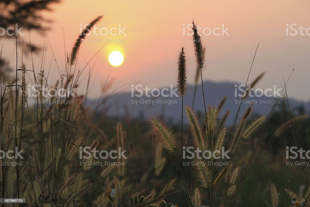 Sunrise and Grass flowers stock photo
