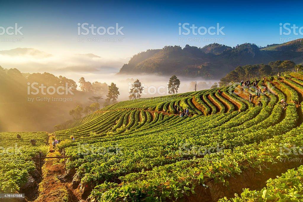 Sunrise at strawberry field at doi angkang stock photo