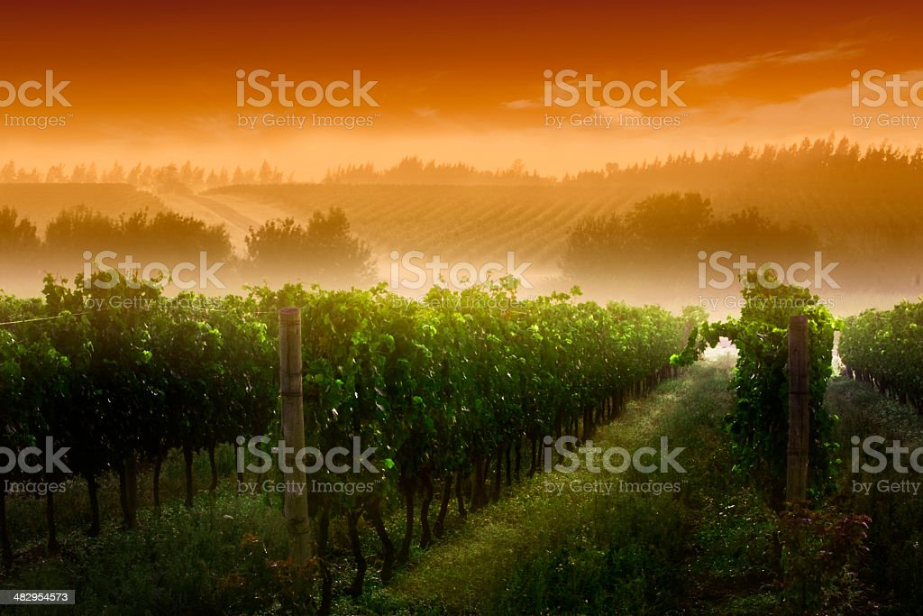 Sunrise at the vineyard stock photo