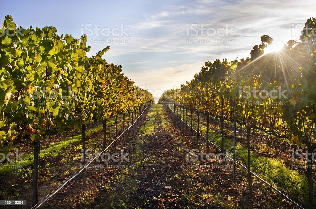 Sunrise behind Healdsburg, CA vineyard trees stock photo