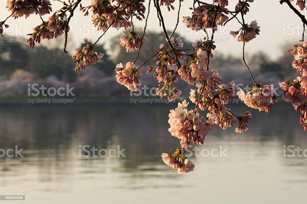 Sunrise Blossoms royalty-free stock photo