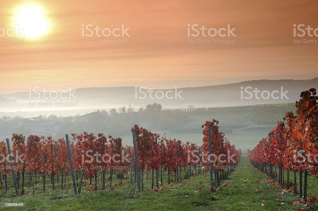 Sunrise Colorful Vineyards in Germany stock photo