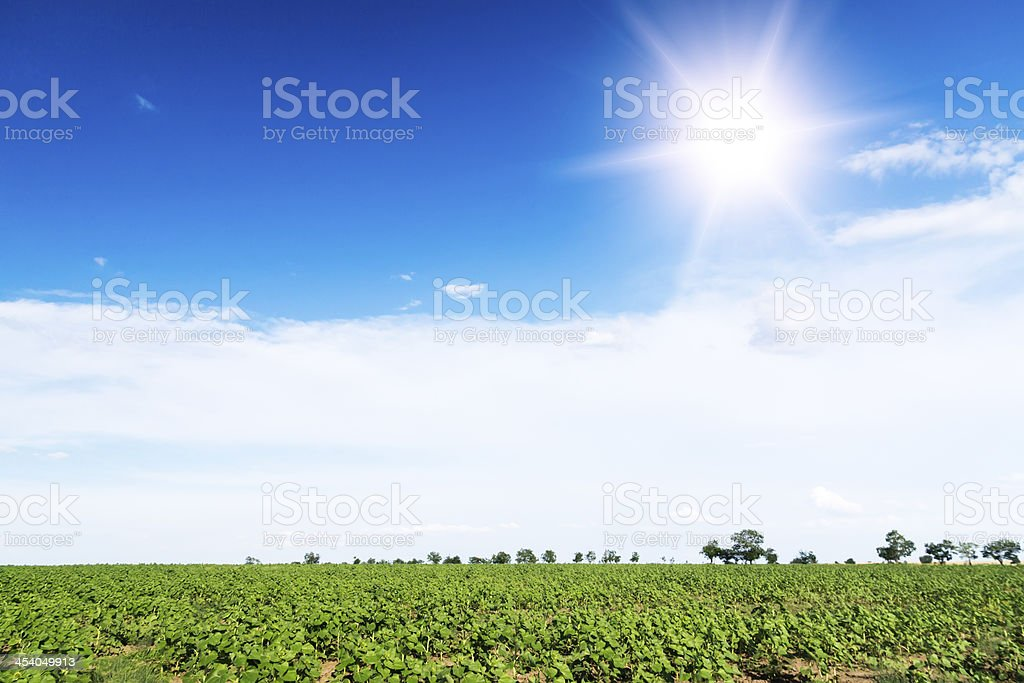 Sunrise field of sunflowers under blue sky. royalty-free stock photo