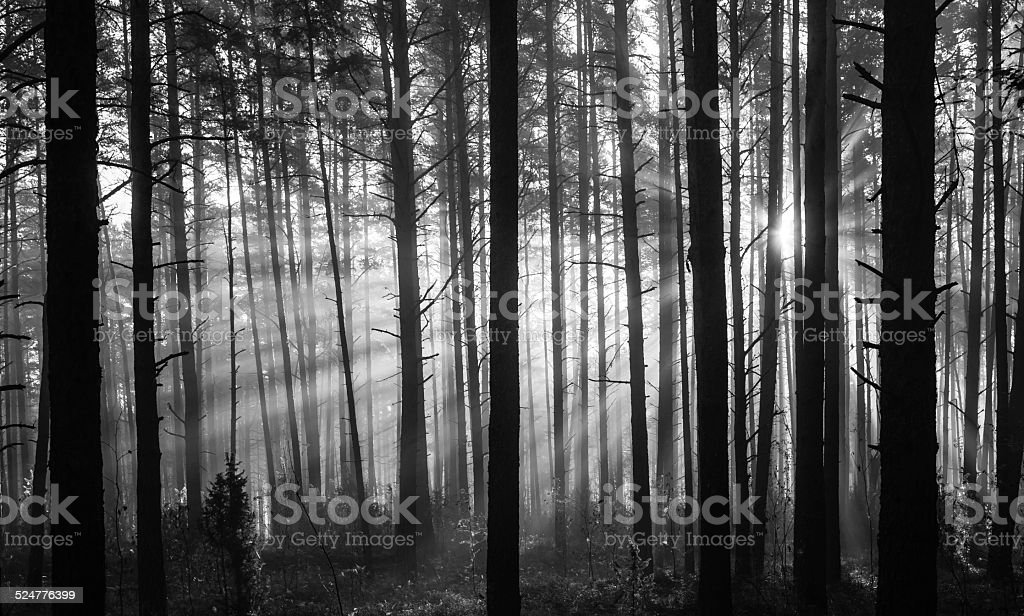 Sunrise in forest in black and white stock photo