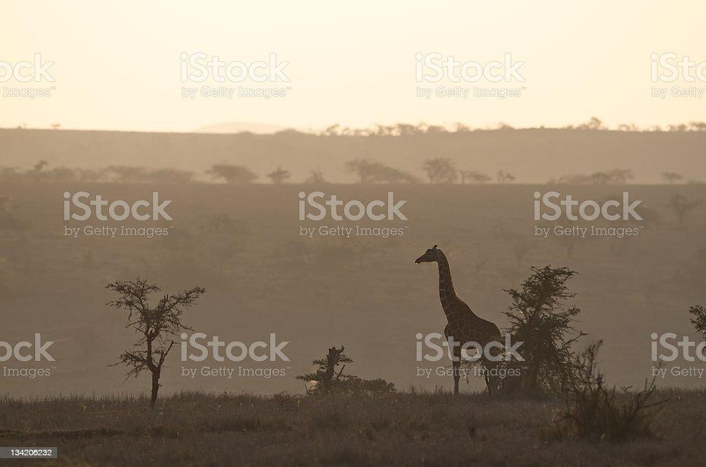 Sunrise in Kenya with giraffe silhouette stock photo