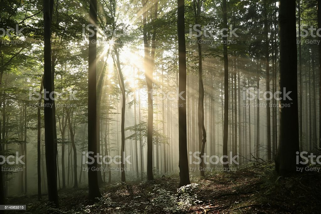 Sunrise in misty deciduous forest stock photo