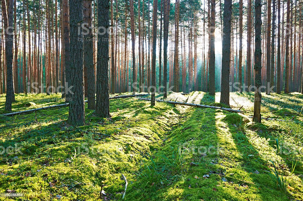 Sunrise in pine forest stock photo