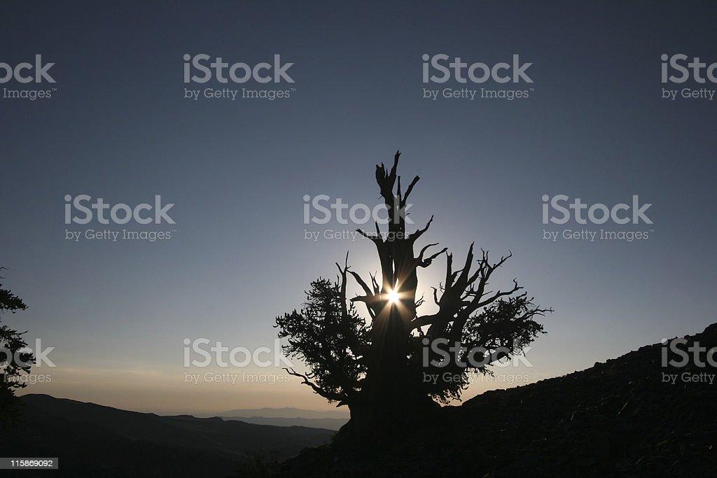 Sunrise in the Bristlecones stock photo