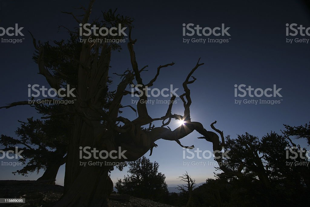 Sunrise in the Bristlecones royalty-free stock photo