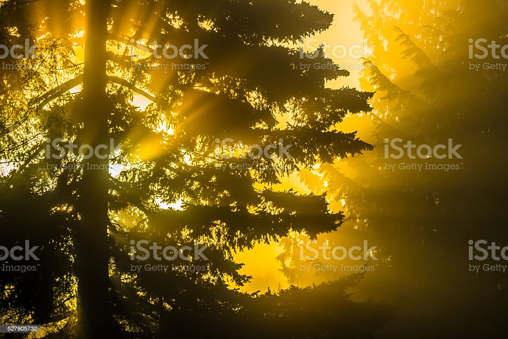 Sunrise in the Forest stock photo
