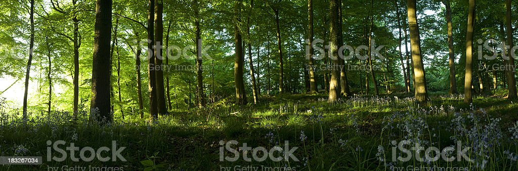 Sunrise in the woods, springtime forest panorama royalty-free stock photo