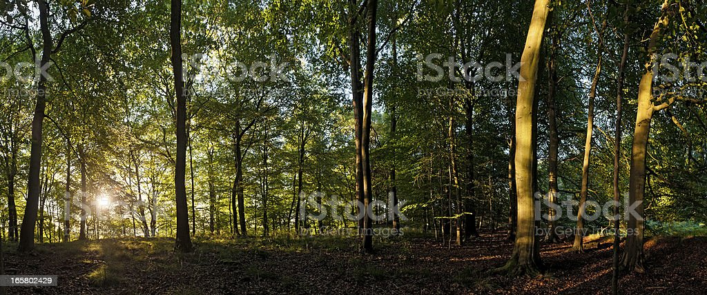 Sunrise in tranquil summer woodland vibrant green forest foliage royalty-free stock photo