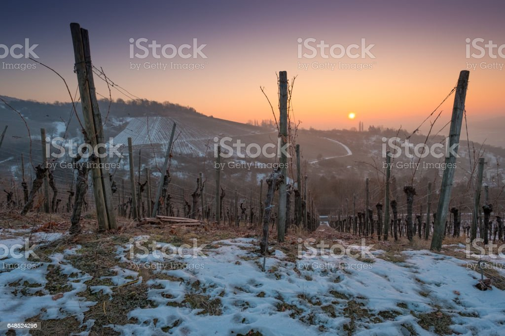 Sunrise in winter with snow in a vineyard stock photo
