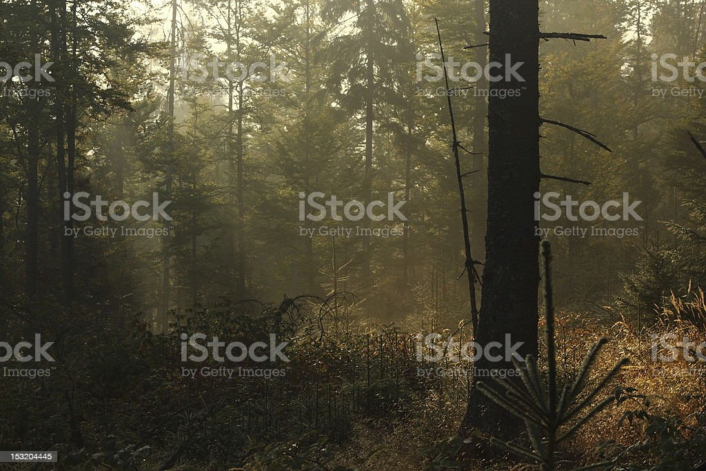 sunrise light filtered through the forest royalty-free stock photo