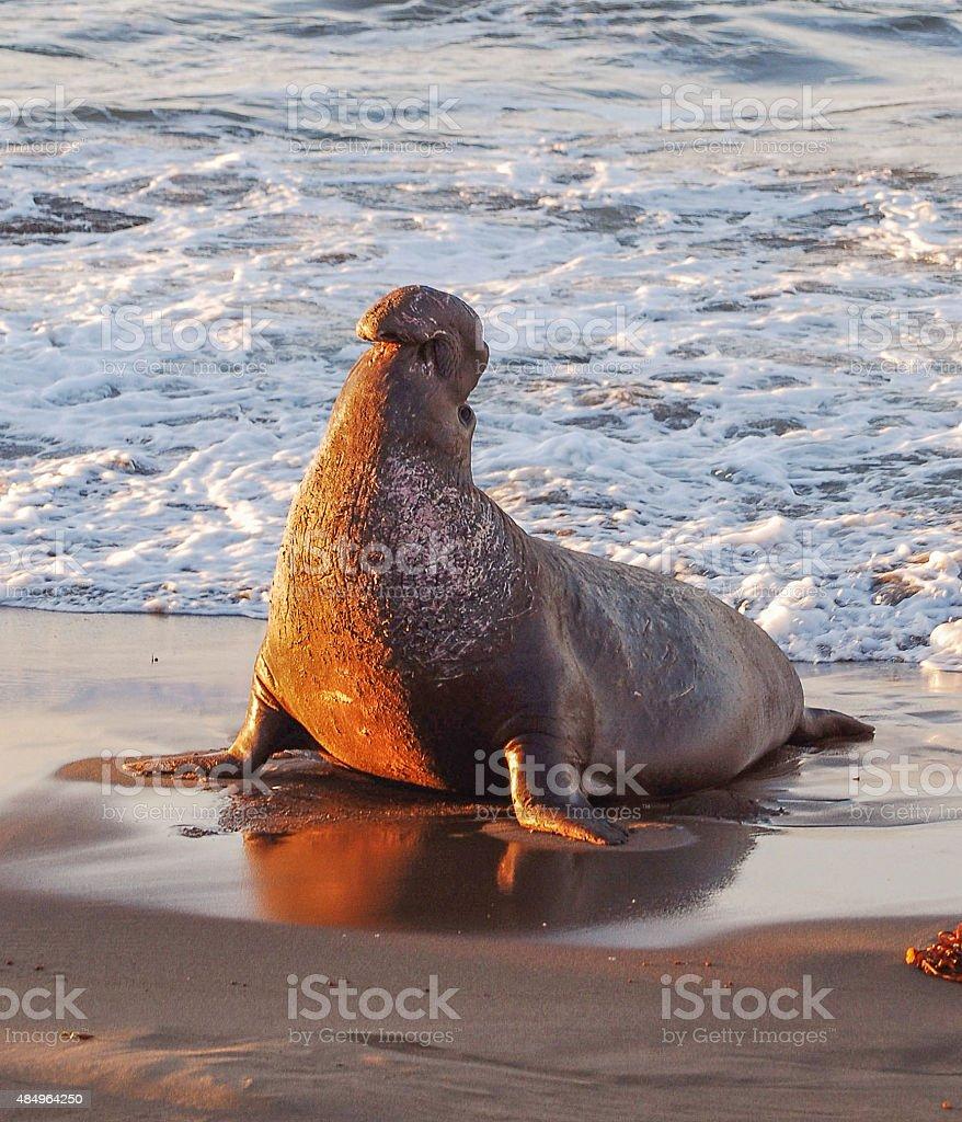 Sunrise Lit Triumphant Elephant Seal stock photo
