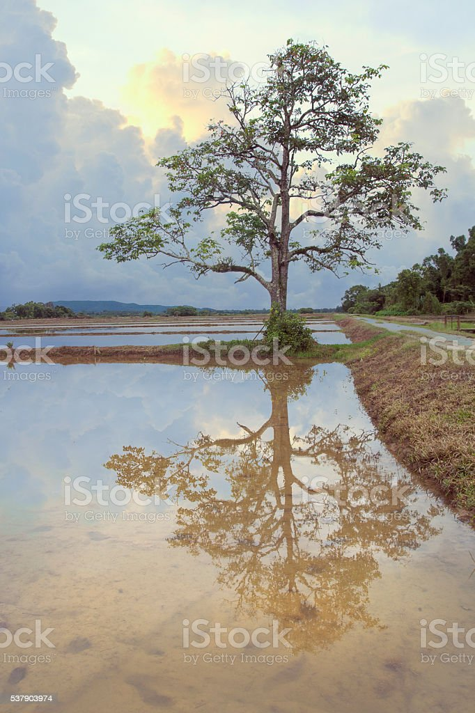 Sunrise Lonely Tree and Reflection stock photo