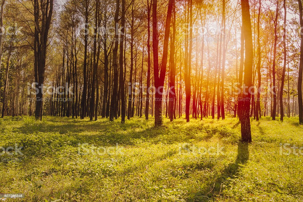 Sunrise or sunset in the pine forest. stock photo