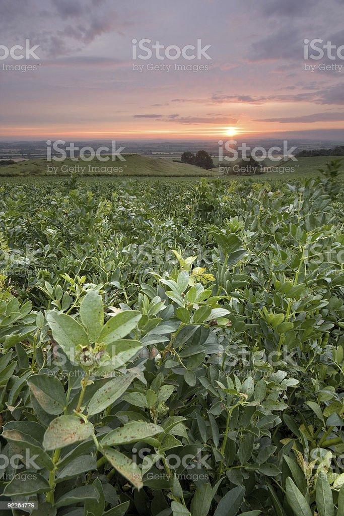 Sunrise over a broad bean plantation stock photo