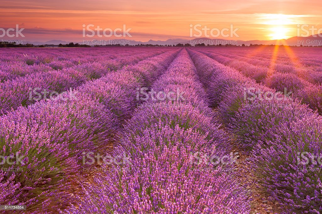 Sunrise over blooming fields of lavender in the Provence, France stock photo