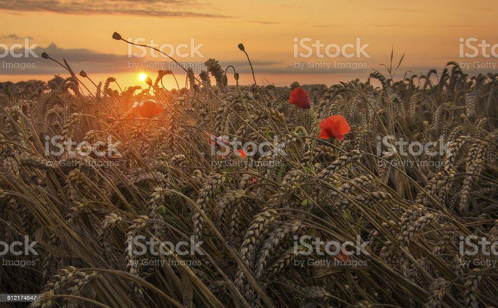 Sunrise over cornfield stock photo