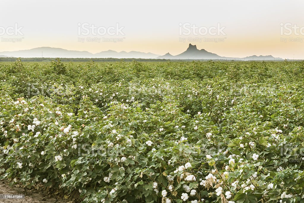 Sunrise over Cotton field near Picacho Peak stock photo