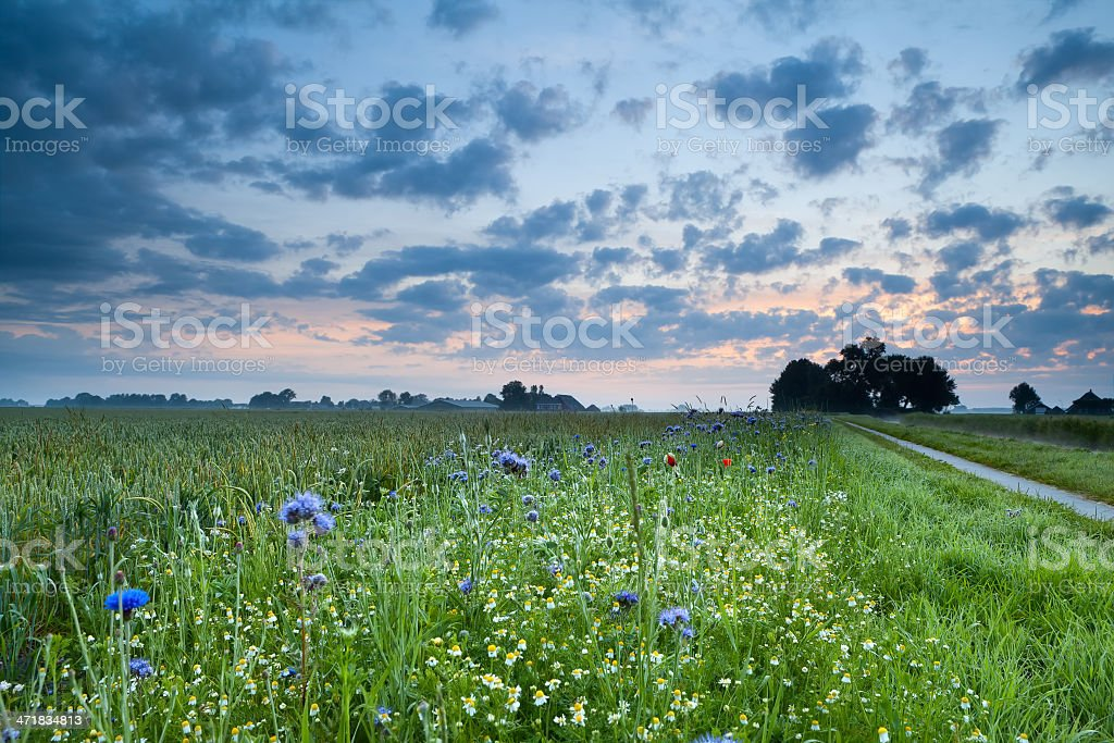 sunrise over field with wildflowers royalty-free stock photo
