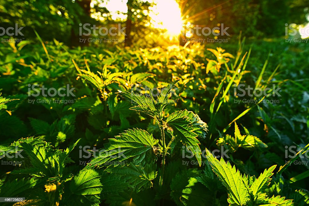 Sunrise over nettle field stock photo
