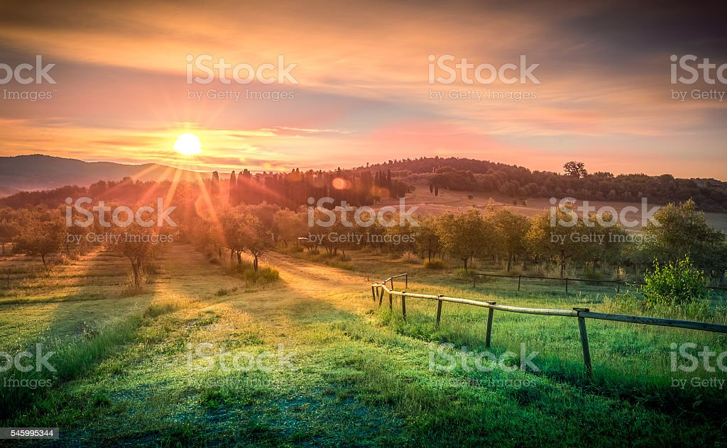 Sunrise over olive field stock photo