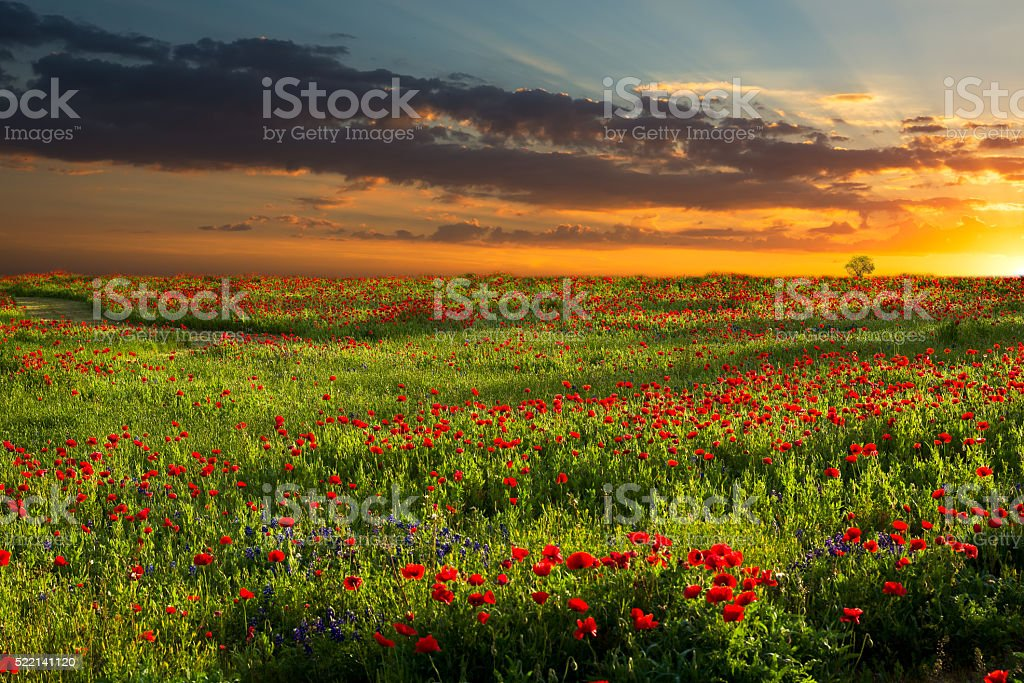 Sunrise Over Red Corn Poppy Fields in Texas stock photo