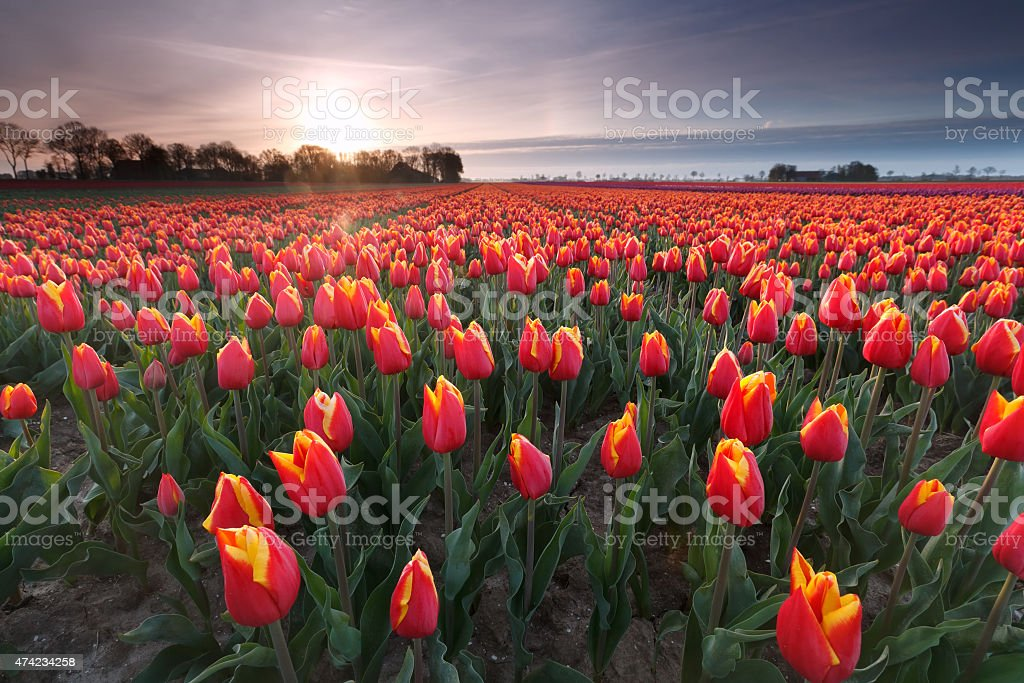 sunrise over red tulip field stock photo